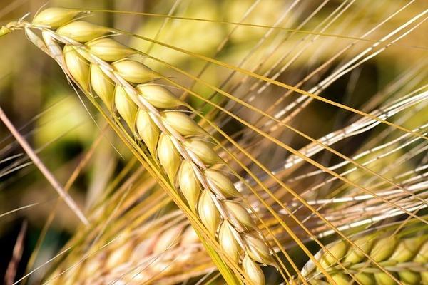 大麦がダイエットに良いって知ってました?