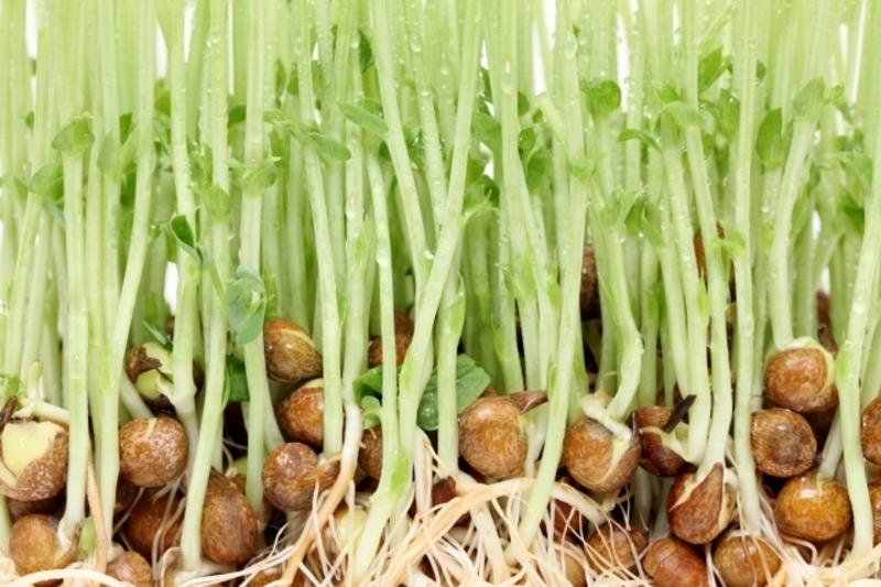 再生野菜「豆苗」を使って節約と美容を手に入れましょう